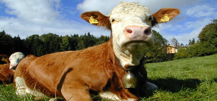 Prezzo del latte al minimo, Stea e Pentassuglia incontrano gli allevatori