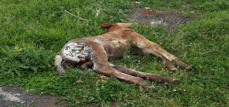 Puledri morti nelle masserie: tornano i lupi?