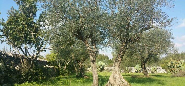 """Olio: Coldiretti denuncia crollo del 58% raccolto """"made in Puglia"""""""
