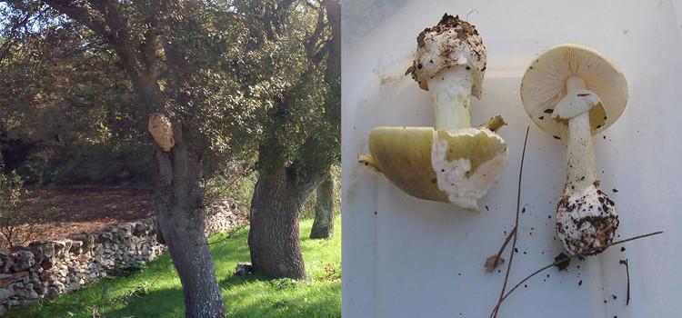 Amanita phalloides e calabrone rosso, i pericoli della natura nocese