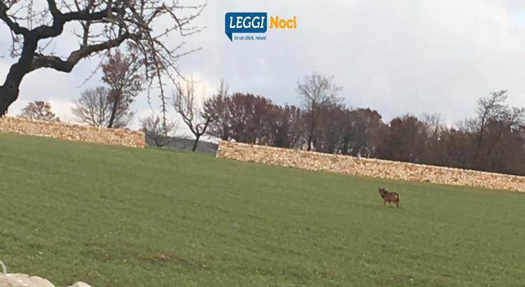 """Tornano i lupi sulla Murgia, Cia Puglia: """"serve un piano, aziende danneggiate"""""""