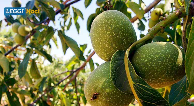 Il frutto dell'albero della noce. In verde il mallo, utilizzato per la preparazione del nocino