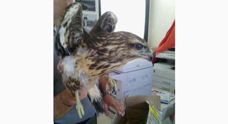 Salvato esemplare di Falco di Palude