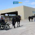 raduno-cavallo-murgese-carrozza