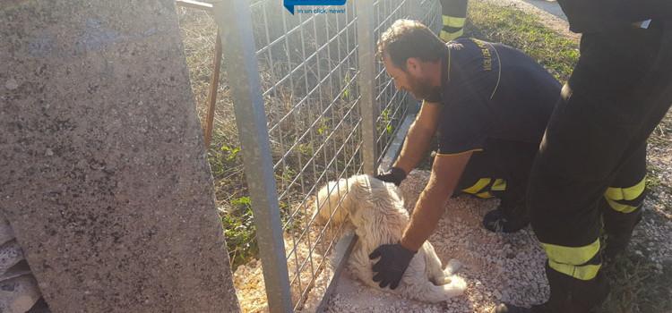VvF salvano cucciola a Lamadacqua