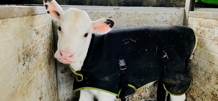 Coldiretti: a Noci cappottini per proteggere i vitelli dalla morsa del gelo
