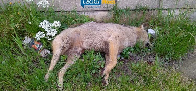 Carcassa di lupo sulla provinciale per Putignano