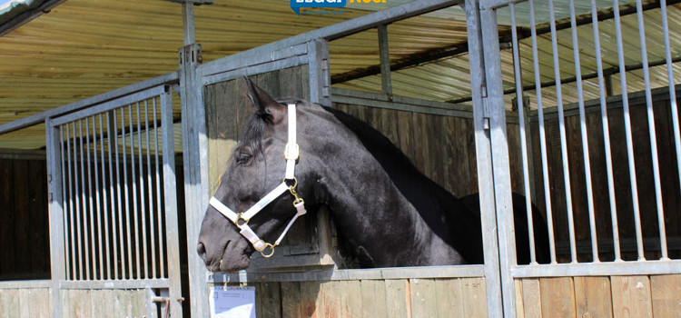 Cavallo Murgese: braccio di ferro ARCM-Ara Puglia