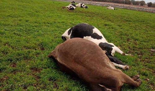 Maltempo, a Noci un fulmine uccide mucche al pascolo