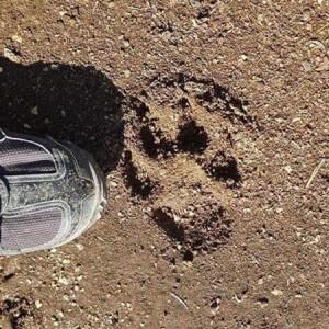 impronta pantera