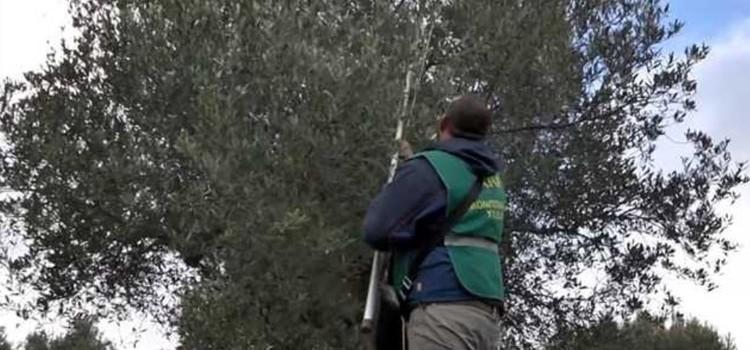 Controllo ed eradicazione della Xylella fastidiosa sul territorio nocese