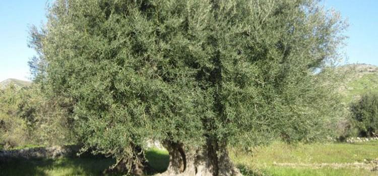 Xylella: 5 ulivi infetti ad Alberobello