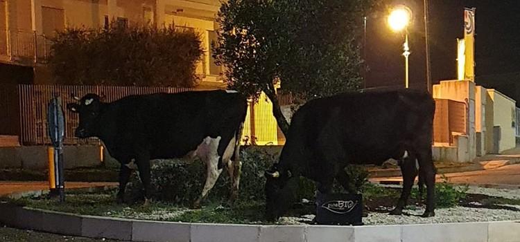 Non dire vacca se non ce l'hai nella rotonda